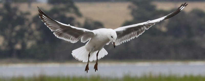 Silver Gull by Peter Ward Lake Tyers 2011